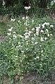 Fagopyrum esculentum plant, Boekweit plant.jpg