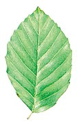 Fagus sylvatica leaf illustration.jpg