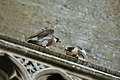 Falco peregrinus St John's Church Bath 3.jpg
