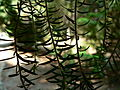 Fale - Giardini Botanici Hanbury in Ventimiglia - 601.jpg