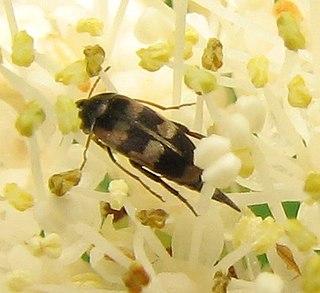 <i>Falsomordellistena</i> Genus of beetles