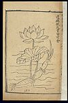 Famine Relief Herbal (1593); Lotus root Wellcome L0039408.jpg