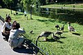 Feeding geese and goslings, Regents Park - geograph.org.uk - 1370434.jpg