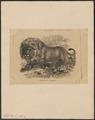 Felis leo - 1862-1876 - Print - Iconographia Zoologica - Special Collections University of Amsterdam - UBA01 IZ22100051.tif