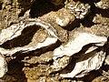Felsenküste Conil Muscheln 3.JPG