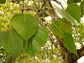 FicusReligiosa05 Asit.jpg