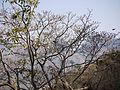 Ficus arnottiana (5460408203).jpg