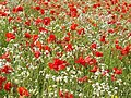 Field Poppies - geograph.org.uk - 1355859.jpg