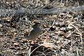 Field Sparrow - Flickr - GregTheBusker.jpg