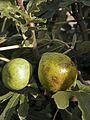 Figuier (Ficus carica) Dalmatie Cl J Weber (23675352145).jpg
