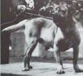 Fila da terceira(Terceira mastiff) - Exposição de cães em Lisboa, 20th century.png