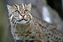 Portrait d\u0027un Chat pêcheur. Les marques faciales sont bien visibles.