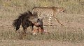 Five cheetahs were feeding on a Springbok kill one morning in the Kgalagadi. (33695258954).jpg