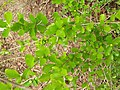 Flacourtia indica bubai04.jpg