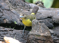 Flame-rumped-tanager2.png