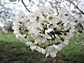 Fleurs de cerisiers. Prémourey.jpg