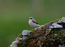 Flickr - Rainbirder - WET WHEATEAR (Oenanthe oenanthe).jpg