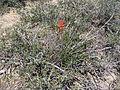Flickr - brewbooks - Castilleja linariifolia (3).jpg