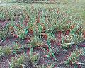 Flickr - jimf0390 - JimF 05-18-12 0054a Orange City Tulip Fest.jpg