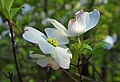 Flowering Dogwood (8743385110).jpg