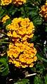 Flowers (34925550360).jpg