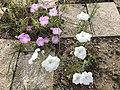 Flowers of Petunia 20190813-2.jpg