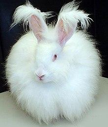 angora rabbit wikipedia