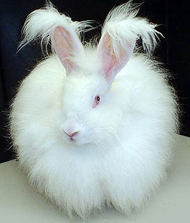 Angora rabbit rabbit breed