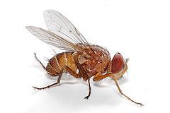https://upload.wikimedia.org/wikipedia/commons/thumb/8/88/Fly_-_Muscidae.jpg/240px-Fly_-_Muscidae.jpg