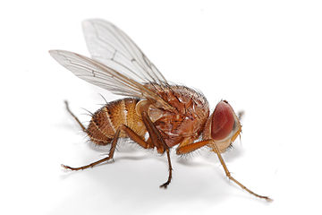https://upload.wikimedia.org/wikipedia/commons/thumb/8/88/Fly_-_Muscidae.jpg/360px-Fly_-_Muscidae.jpg