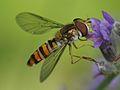 Flyttblomfluga hona4683.jpg