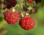 Forest raspberry - panoramio.jpg