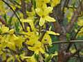 Forsythia intermedia.jpg