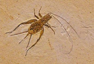 Cricket (insect) - Fossil cricket from the Cretaceous of Brazil