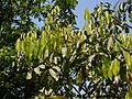 Four-leaved Soapnut (5460515521).jpg