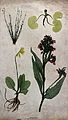 Four flowering plants, including a cowslip (Primula veris), Wellcome V0043935.jpg