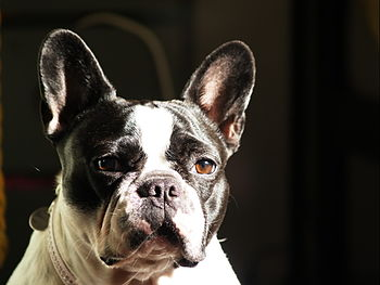 A portrait of a black-and-white French Bulldog.