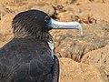 Frigatebirds - North Seymour Island - Galapagos Islands - Ecuador (4870521401).jpg
