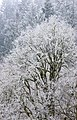 Frost covered trees (8406472387).jpg