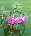 Fuchsia 'Acclamation'. (d.j.b.) 01.jpg