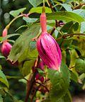 Fuchsia 'Jorge' 02.jpg