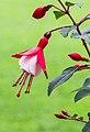 Fuchsia 'Twinny'. Bloeiwijze 04.jpg