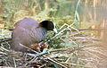 Fulica atra - Blässhuhn - Eurasian Coot - Family3.jpg