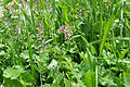 Fumaria officinalis Common Fumitory შავთარა.JPG