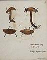 Fungi agaricus seriesI 026.jpg