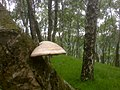 Fungi growing on a Silver birch in Bolehill Quarry near Grindleford - geograph.org.uk - 1095211.jpg