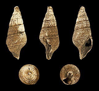 <i>Fusiturris</i> Genus of gastropods