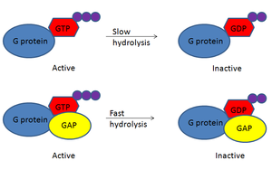 GTPase-activating protein - G proteins have an inherent GTPase hydrolytic activity that is slow. However, in the presence of GAP, this hydrolytic activity is fast.