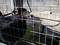 Gallina negra 02.JPG