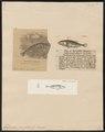 Gasterosteus pungitius - - Print - Iconographia Zoologica - Special Collections University of Amsterdam - UBA01 IZ12900009.tif